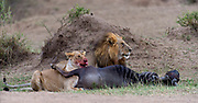 Pair of lions with a fresh kill close to Mara River, Maasai Mara, Kenya.