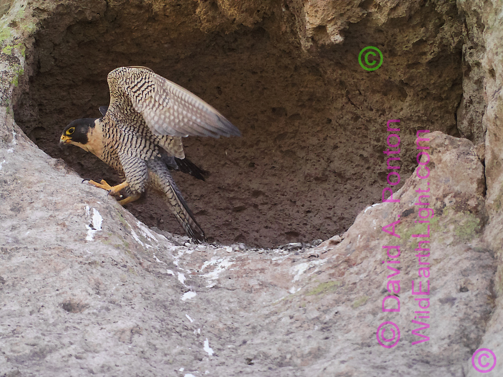 Adult peregrine falcon at cave she has selected for an eyrie, © 2016 David A. Ponton [photo by motion-activated camera, low-resolution limits repro. size]
