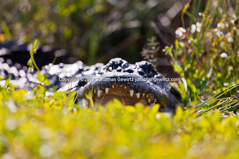An American alligator (Alligator mississippiensis) lying in vegetation with the top of its open mouth visible. Everglades National Park, Florida. WATERMARKS WILL NOT APPEAR ON PRINTS OR LICENSED IMAGES.