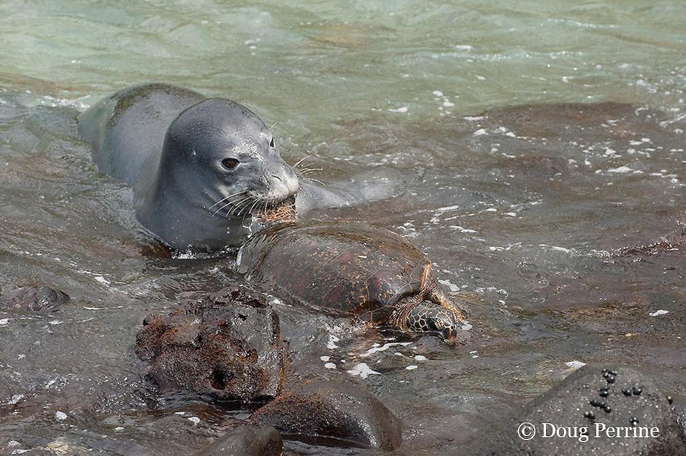 Hawaiian monk seal, Monachus schauinslandi, 2.5 year old male grabs a green sea turtle or honu, Chelonia mydas, by the rear flipper and tries to pull it off the rocks as the turtle tries to escape, Pu'uhonua o Honaunau ( City of Refuge ) National Historical Park, Kona, Hawaii, U.S.A.