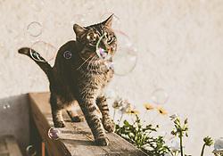THEMENBILD - eine getigerte Katze steht auf einem Holzbalkon mit Balkonblumen und spielt mit Seifenblasen, aufgenommen am 01. Juni 2019, Kaprun, Österreich // a mackerel cat stands on a wooden balcony with balcony flowers and plays with soap bubbles on 2019/06/01, Kaprun, Austria. EXPA Pictures © 2019, PhotoCredit: EXPA/ Stefanie Oberhauser