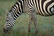 Zebra grazing at Lake Nakuru National Park, Kenya