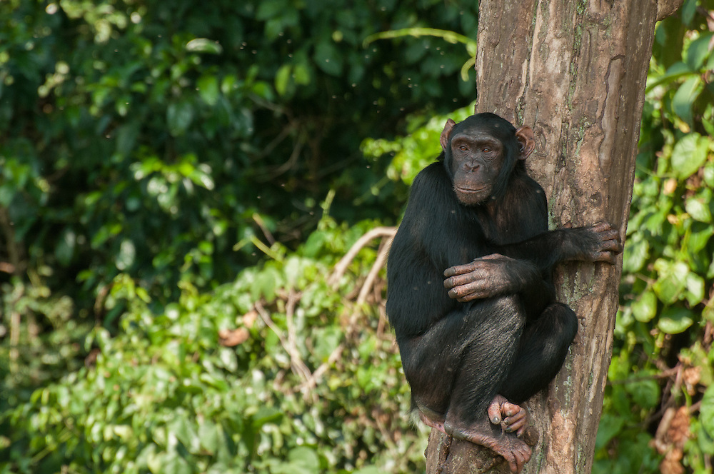Chimpansee, rescued from the pet trade, sitting in a tree, Ngamba Island, Uganda.