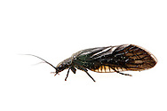 Alderfly (Sialis sp.)<br /> TEXAS: Jasper Co.<br /> Brookeland/Lake Sam Rayburn @ 505 Co Rd 212<br /> 15-21.March.2015<br /> J.C. Abbott #2702 &amp; K.K. Abbott