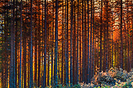 Bulgaria; autumn; sunset; sunlight; tourism; adventure; mountaineering; travel; tranquility; mystic; europe; rhodope mountains; environment; colorful; landscape; nature; outdoors; forest; grove; mountain; tree; pine tree; no person; wilderness