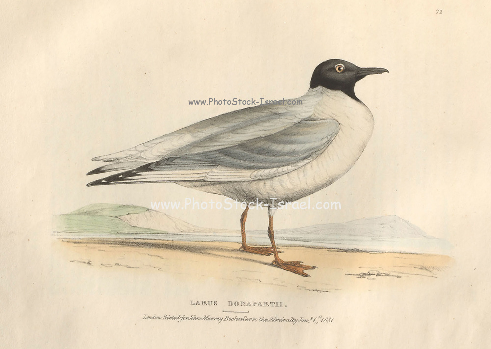 Bonapartian Gull, (Larus Bonapartii), color plate of North American birds from Fauna boreali-americana; or, The zoology of the northern parts of British America, containing descriptions of the objects of natural history collected on the late northern land expeditions under command of Capt. Sir John Franklin by Richardson, John, Sir, 1787-1865 Published 1829