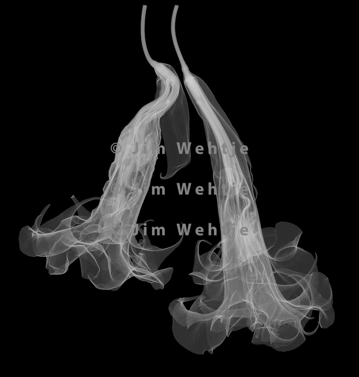 X-ray image of a double white angel's trumpet blossom duo (Brugmansia candida, white on black) by Jim Wehtje, specialist in x-ray art and design images.