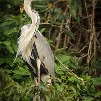 Ardea cocoi, Pantanal, Brazil