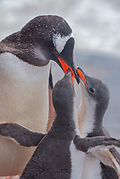 Gentoo penguin and chicks at Jougla Point near Port Lockroy, Antarctica.
