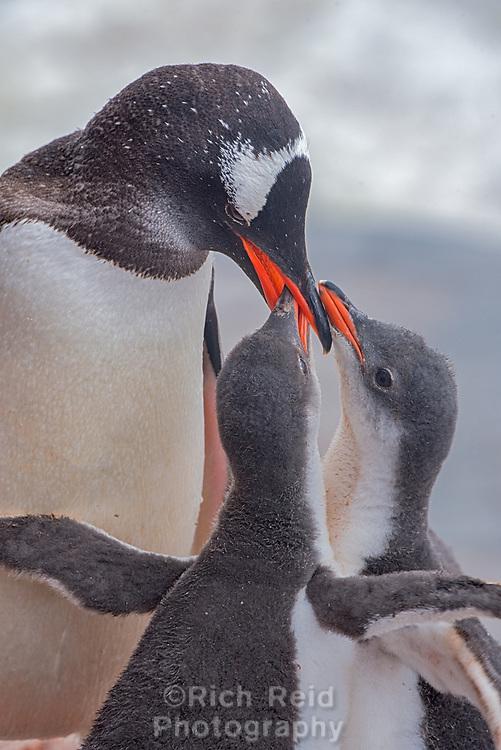 Gentoo penguin and chicks at Jougla Point near Port Lockroy, Antarctica.