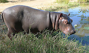 Two dogs and their one big pal, Douglas the little hippo: Trio form unlikely friendship at wildlife rescue park after baby was abandoned at just two weeks<br /> <br /> They are not the most likely of friends - but this lonely hippo has made some canine chums at a wildlife sanctuary.<br /> The baby was found abandoned without his mother at just two weeks old by the Conservation Lower Zambezi in Zambia. <br /> Called Douglas, the hippo appears perfectly content as terriers Molly and Coco gave him a friendly sniff.<br /> <br /> Last May, he was flown to the Chipembele Wildlife Rescue, where he will stay until he is big enough to be released into the wild.<br /> <br /> Staff feed Douglas milk to build him up and have taught him how to swim in the sanctuary's pools. <br /> They hope one day he can join the wild population in the Luangwa River.<br /> But it remains to be seen how long his friendship with the terriers will last as he grows up.<br /> <br /> Male hippos grow to 5ft in height and 15ft in length. <br /> Although just weeks old, it took six men to carry Douglas out of the plane.<br /> The baby hippo would have weighed around 100 pounds (45 kg) at birth but could grow up to 8,000 pounds (3,629 kg).<br /> Hippos, found in the wild only in Africa, spend up to 16 hours a day submerged in rivers and lakes to keep their massive bodies coolin the hot sun and can live up to 40 years.<br /> ©Born Free/Exclusivepix