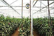 Israel, Jordan Valley, Doshan Farm, Organic Bell Peppers (Capsicum annuum) in a greenhouse