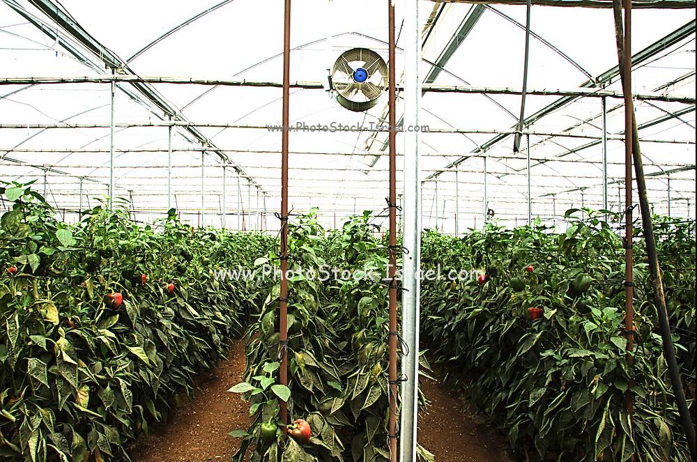 Israel, Jordan Valley, Doshan Farm, Organic Bell Peppers (Capsicum annuum) in a greenhouse