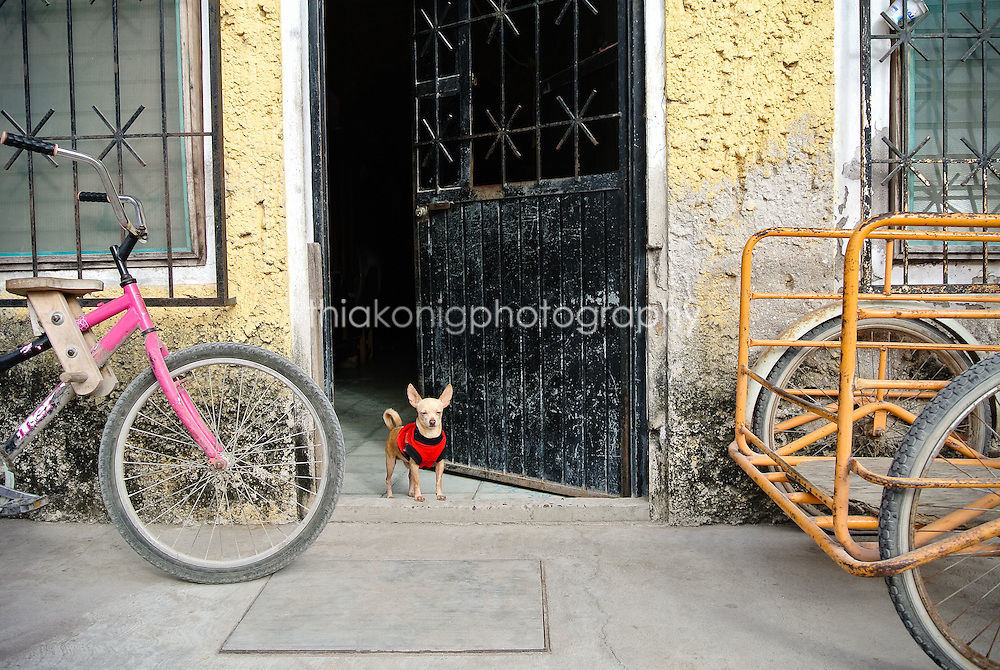 Little chihuahua with red sweater peers out of doorway with bicycles on either side, San Blass, Mexico