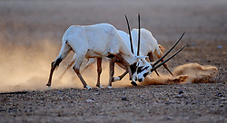 Image ©Licensed to i-Images Picture Agency. 15/06/2009. Arabian Oryx's  as the sunsets on Sir Bani Yas Island, in the United Arab Emirates, a former private nature reserve belonging to the late Sheikh Zayed, The founder of the United Arab Emirates , the Island  has been recently opened to the public and is the first safari in the United Arab Emirates.Picture by Andrew Parsons / i-Images