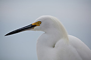 A close head shot of a snowy egret.