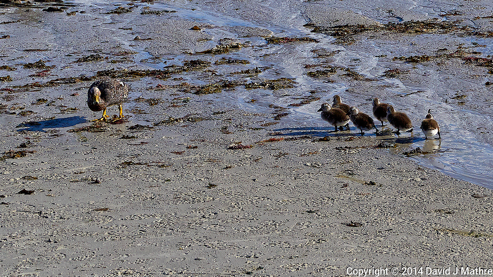 Mother Kelp Goose and Her Six Gosiing's. Carcass Island - Falkland Islands. Image taken with a Leica T camera and 18-56 mm lens (ISO 100, 56 mm, f/5.6, 1/3200 sec). Raw image processed with Capture One Pro, Focus Magic and Photoshop CC.