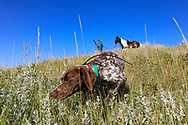 John Zeman's German shorthair Liza locks up hard on a Hungarian partridge during a Montana upland bird hunt.