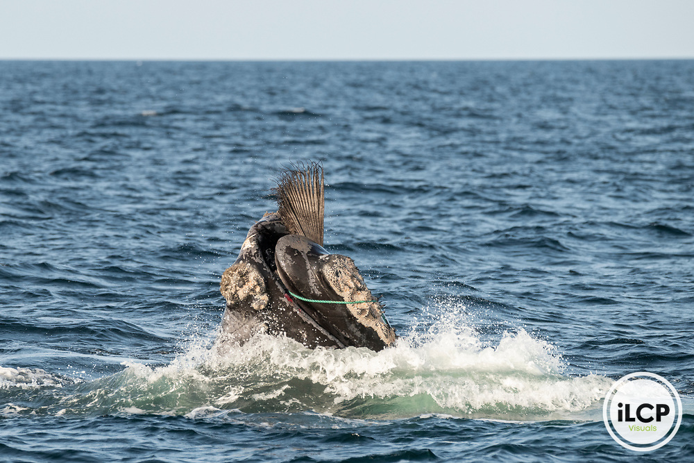 A North Atlantic right whale (Eubalaena glacialis) struggles to free itself from being entangled in fishing gear in the Gulf of Saint Lawrence, Canada. Fishing gear entanglement is a leading cause of death in North Atlantic right whales. IUCN Status: Endangered.