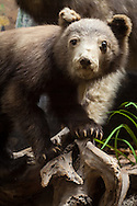 Baby bear on display at the Fairbanks Museum & Planetarium in St. Johnsbury, Vermont.