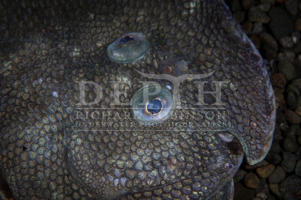 Peltorhamphus novaezeelandiae (Common sole). Photograph Richard Robinson © 2014.