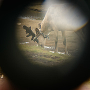 Spotting reindeer through a binocular cut in half in a Dukha (Tsaatan) reindeer herder settlement, Mongolia. Approximately 200 families comprise the Tsaatan or Dukha community in northwestern Mongolia, whose existence is intimately linked to their herds of reindeer. Photo © Robert van Sluis