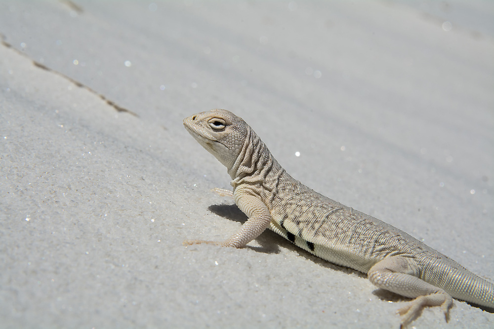 The infamous and rare, bleached earless lizard (Holbrookia maculata ruthveni) - a lizard with an evolutionary adaptation to living on the white gypsum sand dunes on White Sands (the largest gypsum sand dune desert in the world). This beautiful member of the Phrynosomatid lizard family has evolved white scales to enable it to blend in with the white gypsum sands. I wouldn't have seen it if it hadn't moved.
