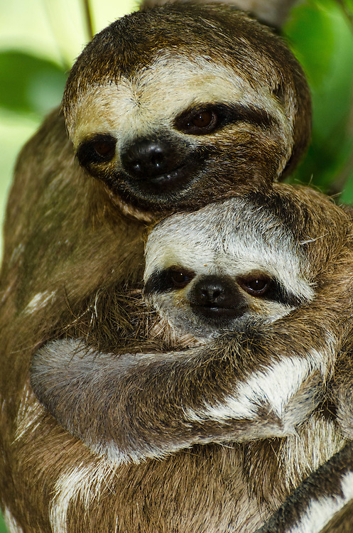 Three-toed sloth (Bradypus tridactylus) with baby