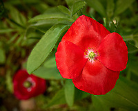 Small red poppy. Backyard spring nature in New Jersey. Image taken with a Leica T camera and 11-23 mm lens (ISO 100, 22 mm, f/5.6, 1/400 sec).
