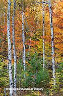 64776-01220 Birch trees in fall color Schoolcraft County Upper Peninsula Michigan