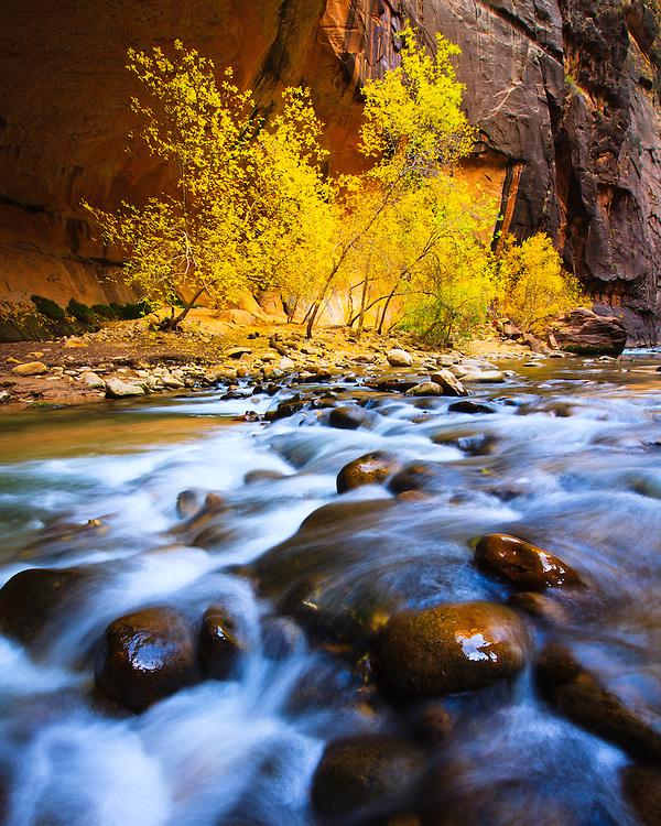 The colors of Autumn in the Virgin River Narrows, Zion National Park, Utah.
