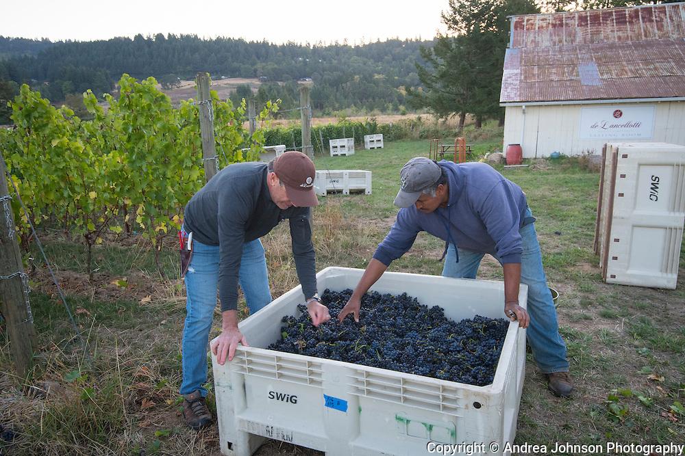 DeLancellotti pinot noir harvest 2016, Willamette Valley, Oregon