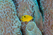 Threespot Damselfish Juvenile (Stegastes planifrons) & Azure Vase Sponge (Callyspongia Plicifera)<br /> BONAIRE, Netherlands Antilles, Caribbean<br /> HABITAT & DISTRIBUTION: Reef tops in areas of algae growth. <br /> Florida, Bahamas, Caribbean, Gulf of Mexico & Bermuda.