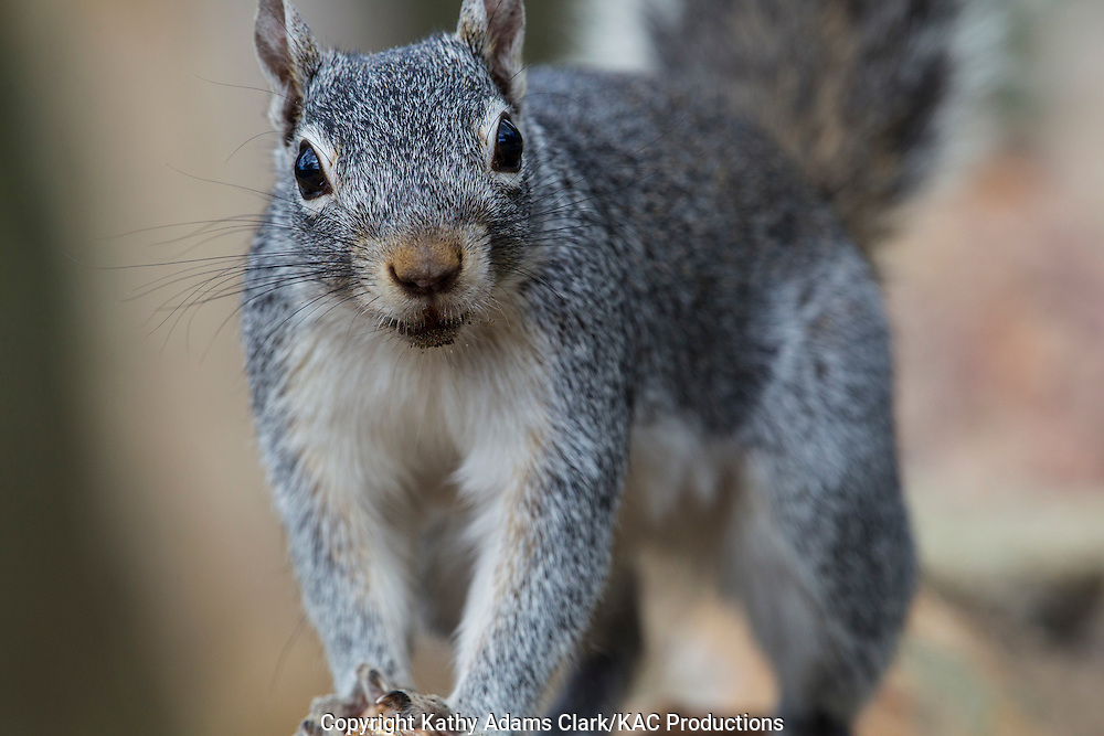 rock squirrel, Spermophilus variegatus, Arizona, smiling,