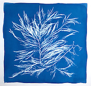This is a cyanotype print of False Sour Weed (Dictyosiphon foeniculaceus): a common seaweed found in the Atlantic waters of Canada.  Cyanotype is a photographic printing process that produces a cyan-blue print. Engineers used the process well into the 20th century as a simple and low-cost process to produce copies of drawings, referred to as blueprints. The process uses two chemicals: ammonium iron(III) citrate and potassium ferricyanide.  The English scientist and astronomer Sir John Herschel discovered the procedure in 1842.
