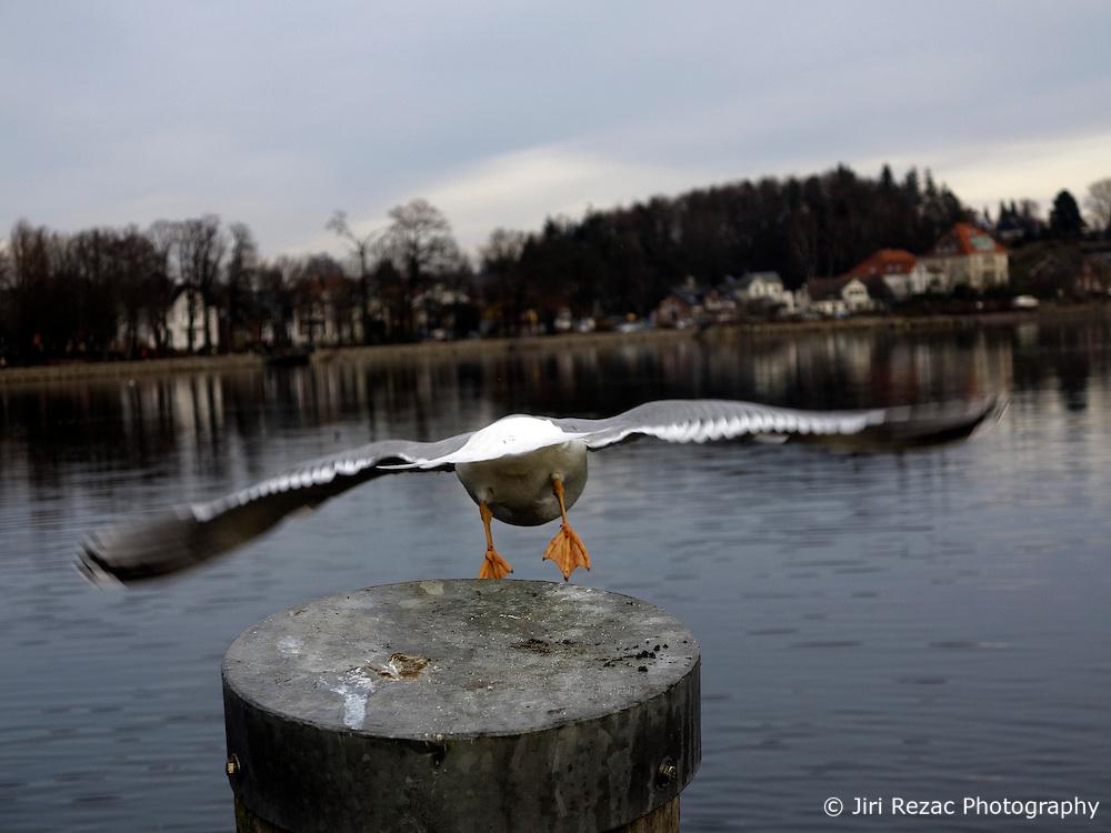 GERMANY ECKERNFOERDE DEC13 - Seagulls in Eckernfoerde.<br /> <br /> <br /> <br /> jre/Photo by Jiri Rezac<br /> <br /> <br /> <br /> &Acirc;&copy; Jiri Rezac 2013