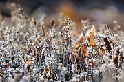 An early frost sparkles on garden thyme (Thymus vulgaris), Bar Harbor, Maine.