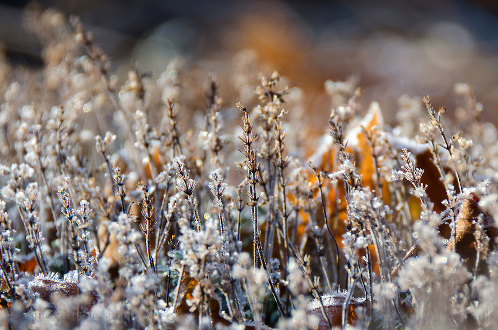 An early frost sparkles on garden thyme (Thymus vulgaris), Bar Harbor, Maine.