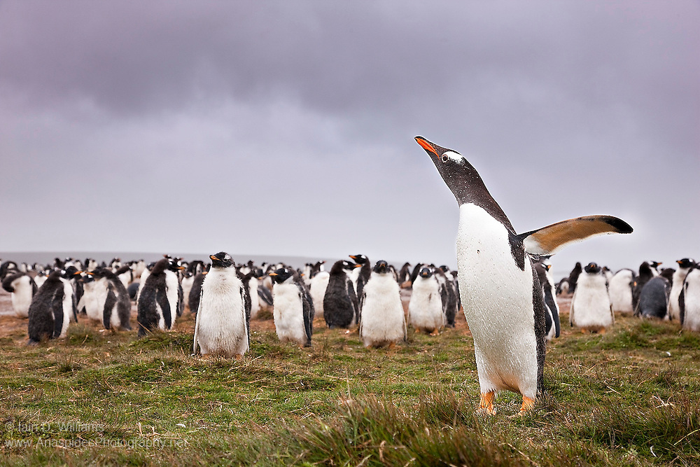 An adult gentoo penguin calls to its young at a penguin colony in the Falkland Islands