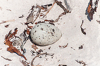 Shallow nest scrape and egg of a Caspian Tern, De Hoop Nature Reserve & Marine Protected Area, Western cape, South Africa
