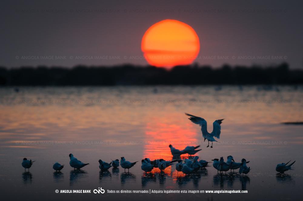 Bando de andorinhas do mar ao pôr do sol nas Salinas do Mussulo.