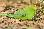 Yellow-crowned Parakeet looking for food on the forest floor, Ulva Island, New Zealand