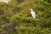 White Heron, New Zealand