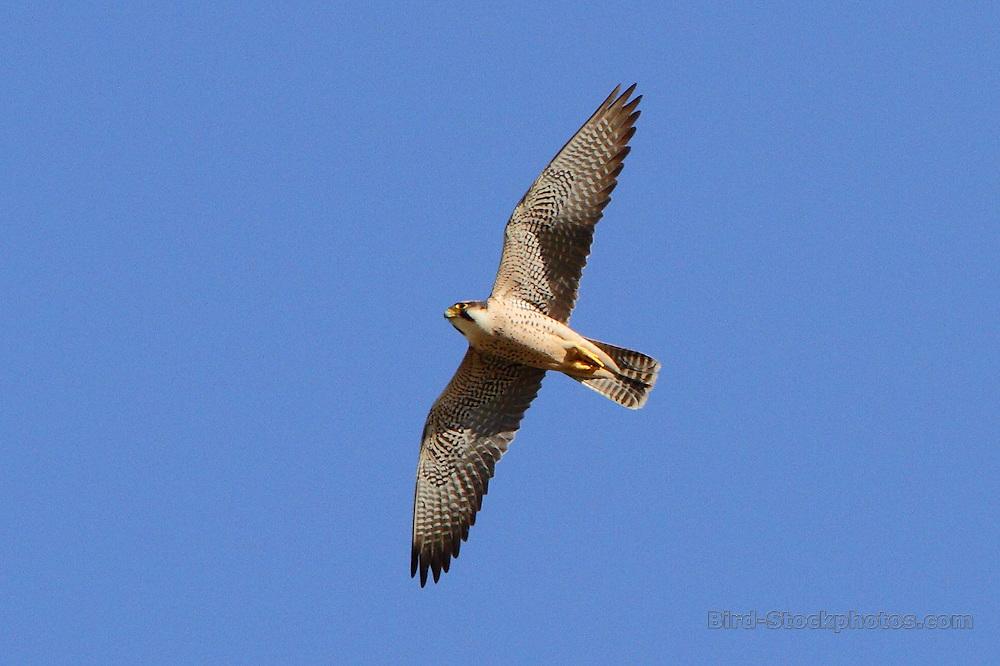 Barbary Falcon, Falco pelegrinoides, Ethiopia, by Markus Lilje