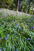 Doras Field, bluebell woods, Rydal Mount, Wordsworths former home, lake District, Cumbria, Uk,