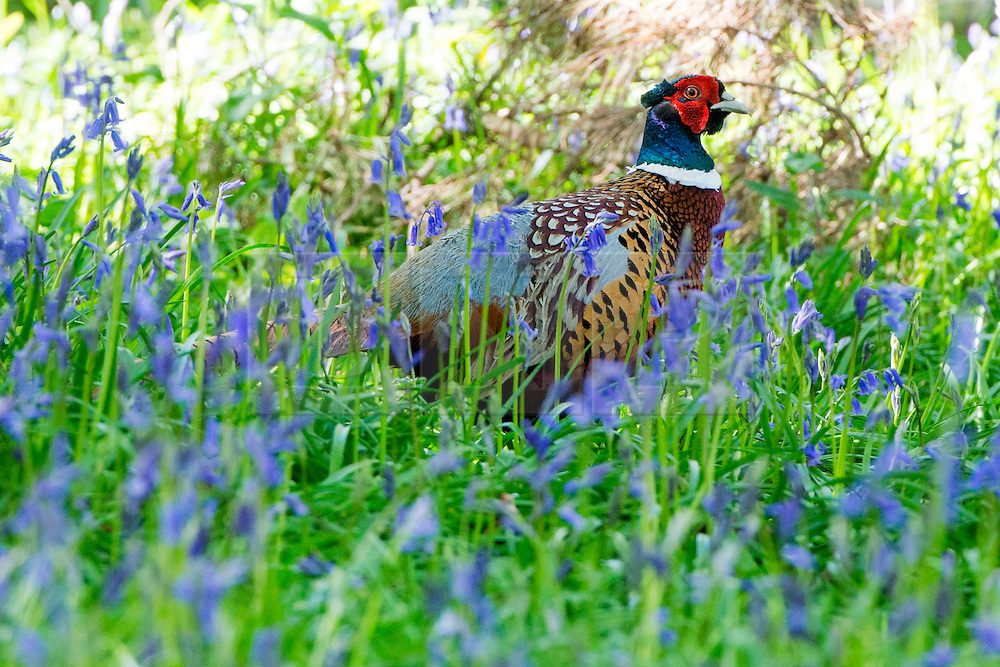 © Licensed to London News Pictures. 15/04/2014. Guildford, UK. A pheasant feed amongst the bluebells.  People enjoy the afternoon  sunshine at Winkworth Arboretum in Surrey today 15th April 2014. Photo credit : Stephen Simpson/LNP