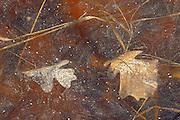 Autumn leaves frozen in ice in the Seine River <br /> Winnipeg<br /> Manitoba<br /> Canada