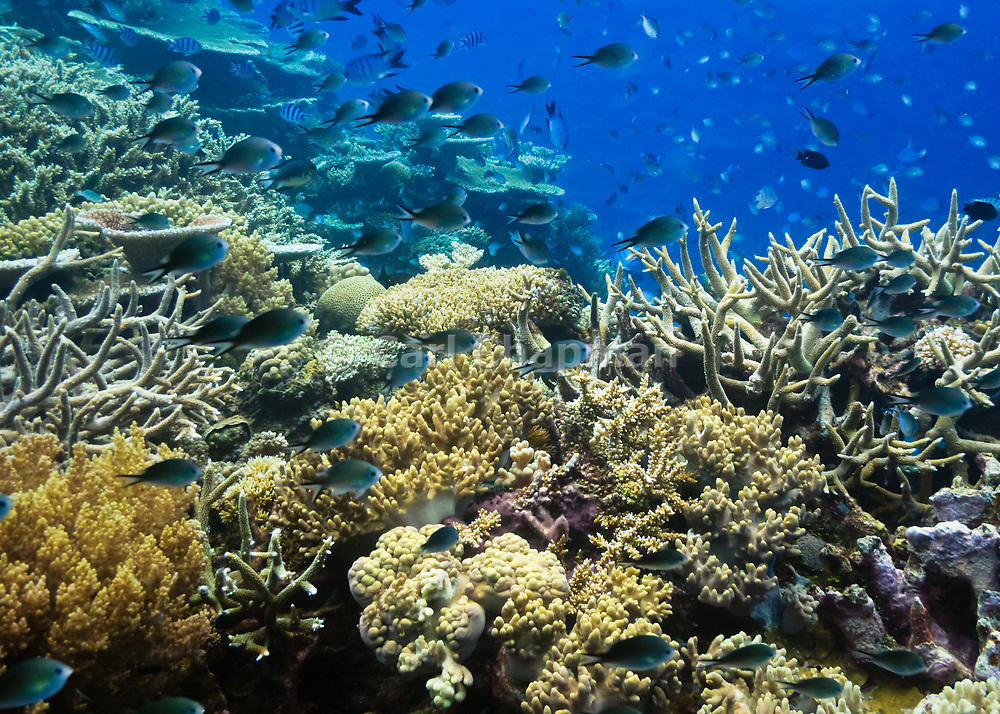 Fish on tropical coral reef - Agincourt reef, Great Barrier Reef
