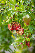 Pomegranate tree, Punica granatum, in Val D'Orcia, Tuscany, Italy