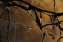 Tree branches covered with hoar frost are silhouetted against morning sunrise sunlight along the Chilkat River in the Alaska Chilkat Bald Eagle Preserve near Haines, Alaska.